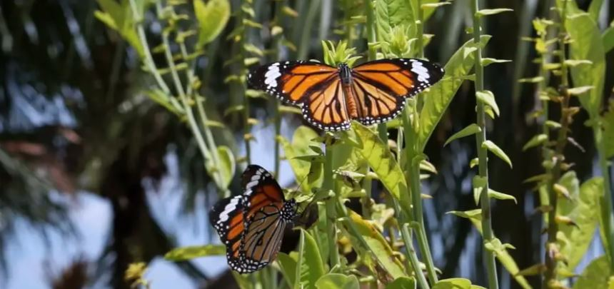 Illinois Monarch Project provides resources